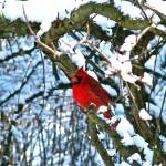 Cardinal © Kathy Buckland, 2013