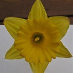 The face of the daffodil © Ellen Wade Beals, 2014