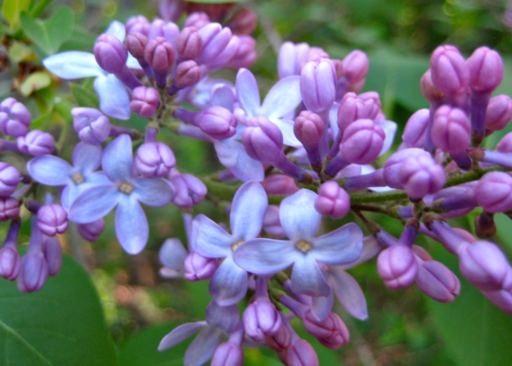 """lilacs last in the dooryard bloom'd"" © Ellen Wade Beals, 2015"