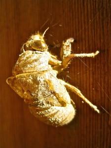 Cicada shell © Ellen Wade Beals, 2015