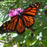 Monarch © Ellen Wade Beals, 2015