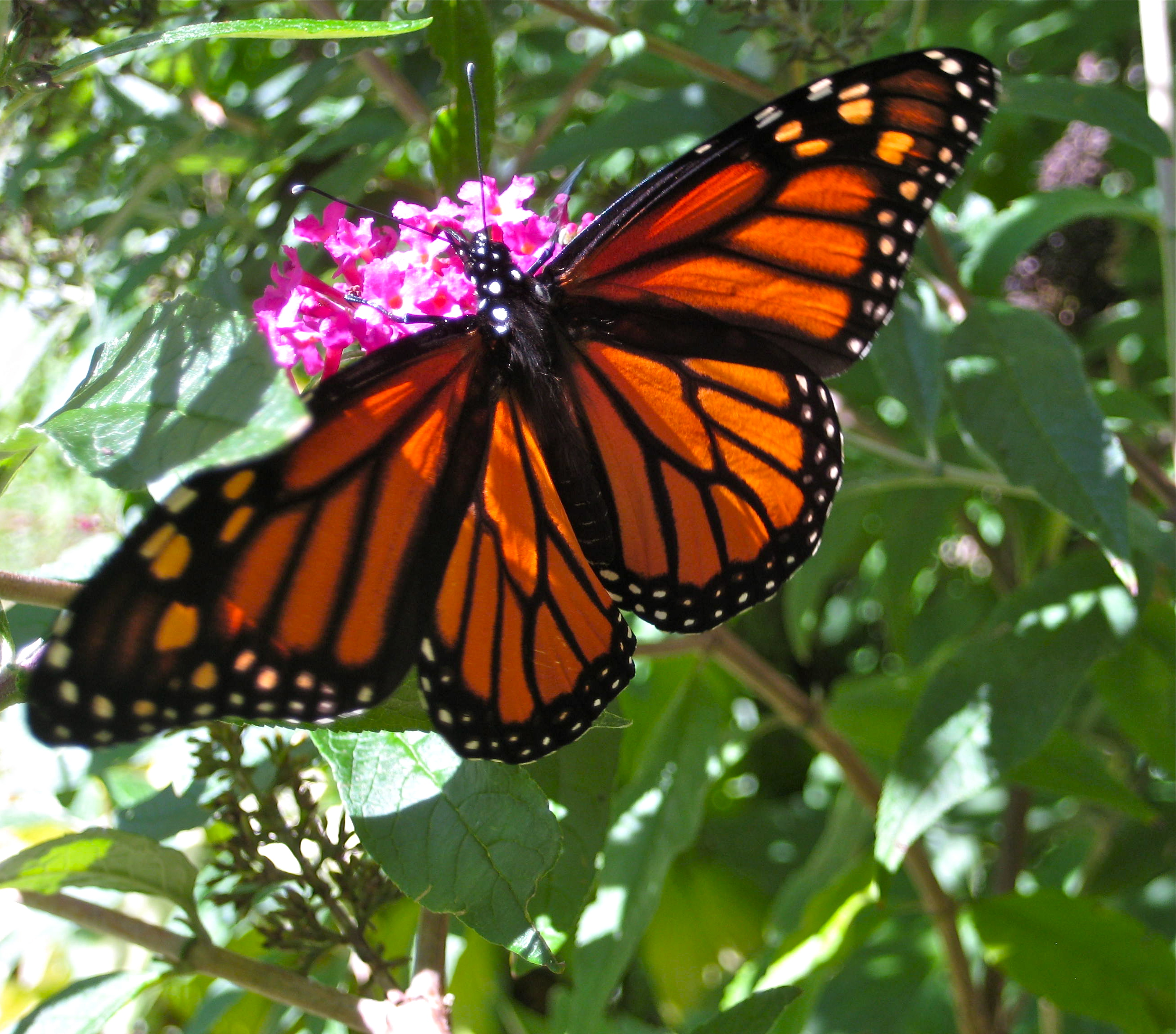 A monarch drops by