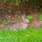 Rabbit © Ellen Wade Beals, 2015