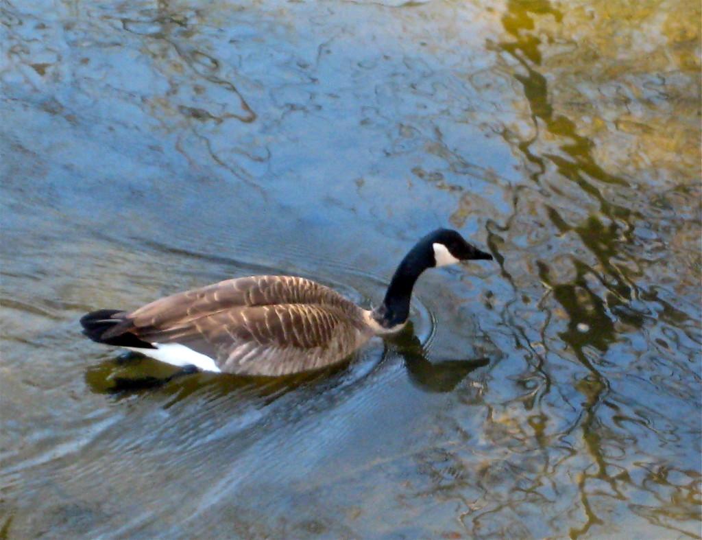 Goose © Ellen Wade Beals, 2015