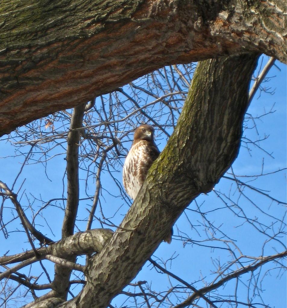 City hawk (Riverside Park) © Ellen Wade Beals, 2016